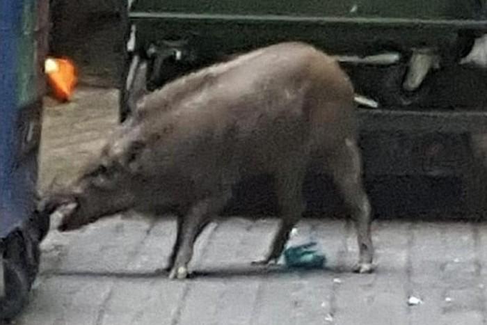 40kg wild boar in Punggol that
