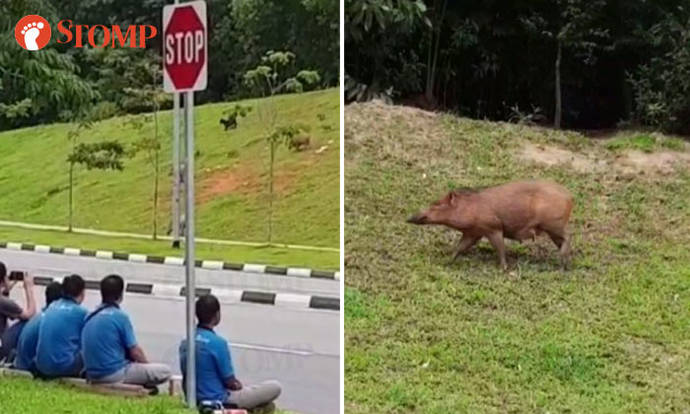 Stomper trying to pet wild boar in Pasir Ris is exactly what not to do - Stomp